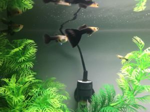 Buy American Black Guppies with FREE Shipping