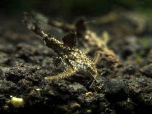 Asian Stone Mini Catfish (Hara jerdoni)