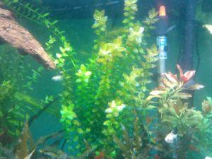 Buy Bacopa plants for guppy aquariums
