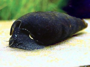 Black Devil Snails (Faunus ater)