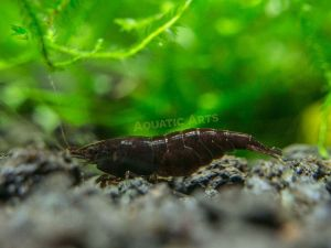 "Black Diamond Shrimp (Neocaridina davidi) - 1/2"" to 3/4"""