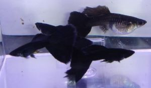 Black Moscow Guppies Breeding Group
