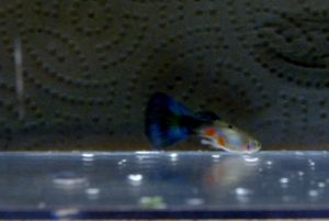Buy Full Blooded Blue Guppies here