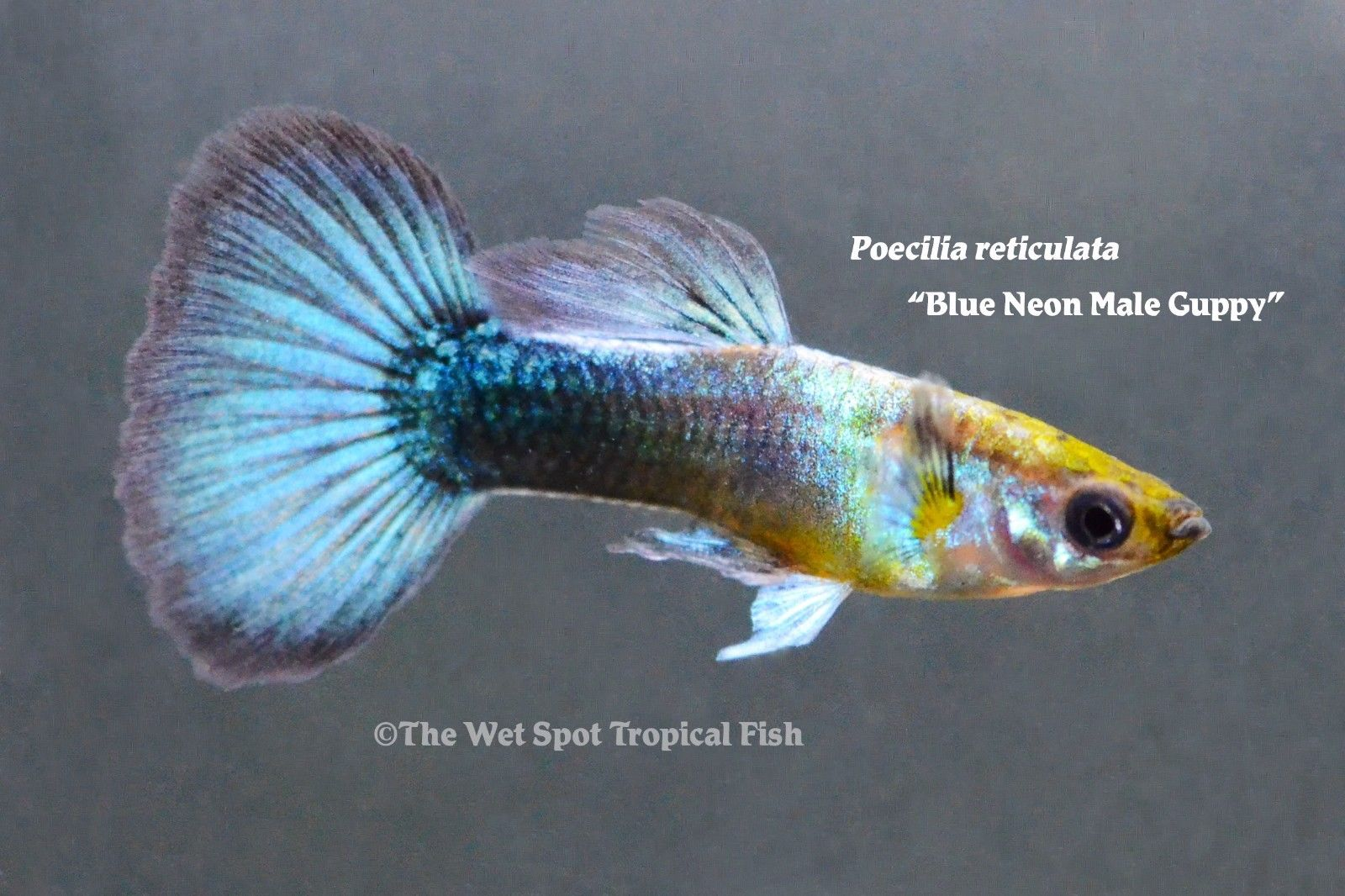 Blue Neon Guppy photo Wet Spot Tropical