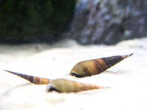 Chopstick Snails