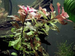 Aquatic Plants for Guppies