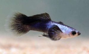 Dumbo Ear Panda Guppies for Sale Expedited Shipping