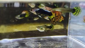 Buy Fire Tail Guppy's
