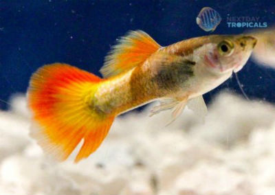 Flame Male Guppy for sale
