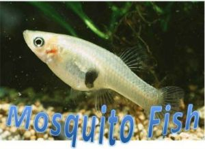 live healthy Gambusia affinis fish