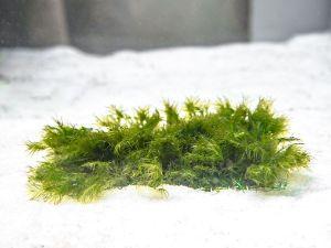 Geppi Moss (Fissidens geppi)