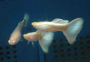 Guppy Pair - Albino Platinum