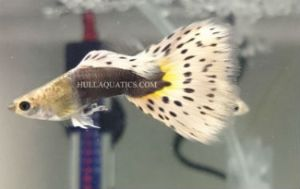 Gorgeous Show Quality Half Black Leopard Guppy Trio