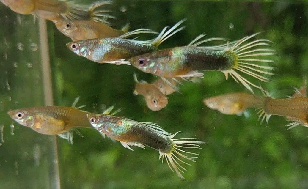 Order imported Half Black Yellow Crown Tail Guppies