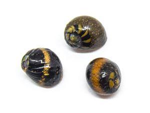 Ishimaki Smooth Nerite Snail (Clithon retropictus)