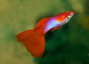 True Pair of Japan Blue Red Tail Albino Guppy