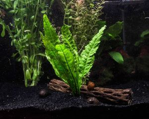 Java Fern is a very popular plant in the aquarium hobby