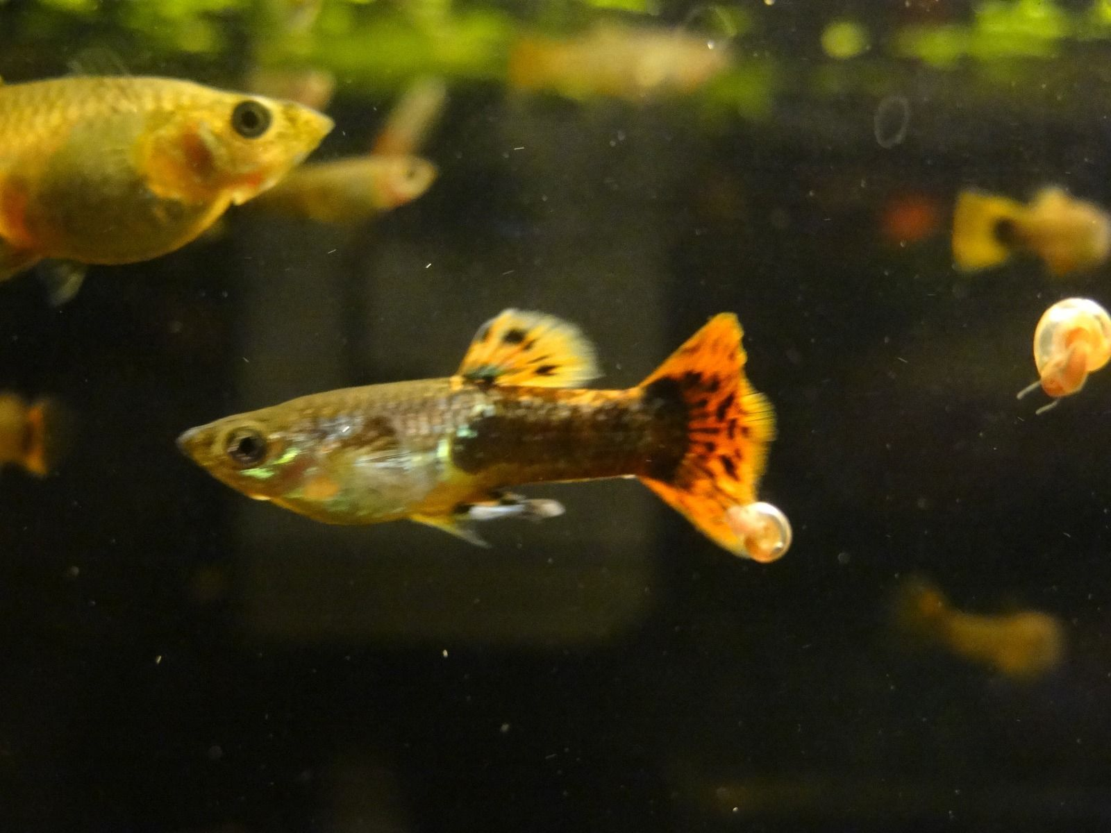 Buy Baby Guppies, Snails and Plants