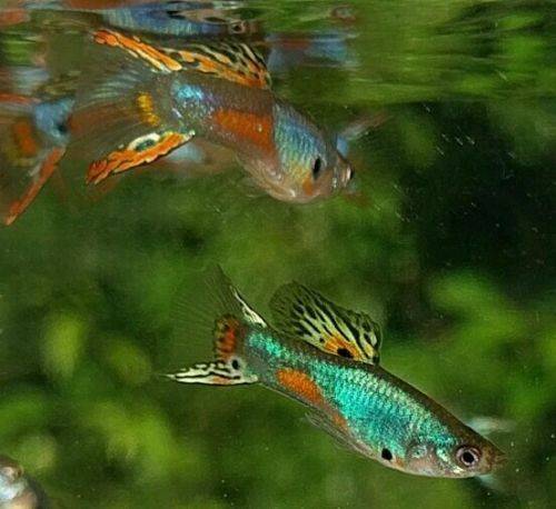 FREE Shipping our Lazuli guppies
