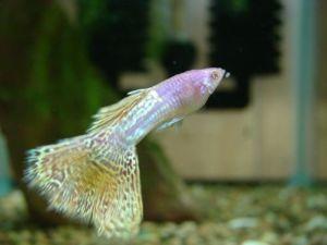 Albino Purple Metalhead Yellow Lace Guppy Fancy