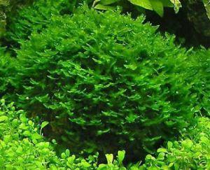 Aquatic Plants for Guppies