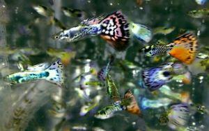 Buy NEBULA STEEL Guppies fish PAIR