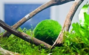 For sale nano Marimo balls for guppies