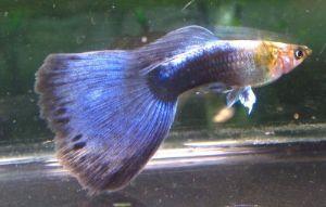 Buy Neon Blue Male Guppy