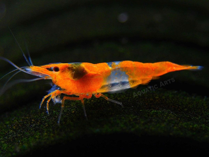 """Orange Rili Shrimp (Neocaridina davidi) - 1/2"""" to 3/4"""""""