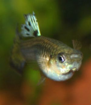 Overstock Guppies! Priority Mail Shipping