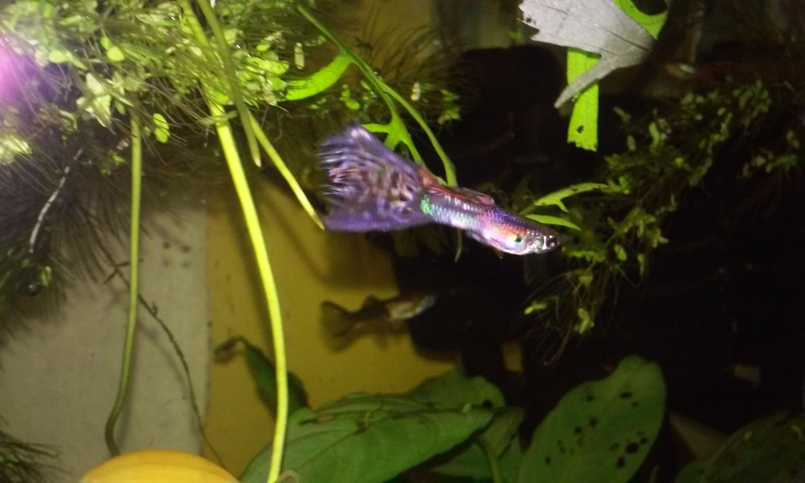 Pink Magenta Gene Guppies Babies EXTREMELY RARE Gorgeous