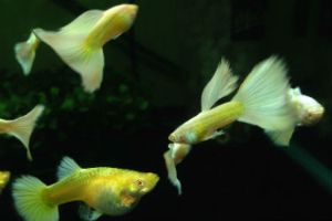 Platinum White Albino Show Guppies