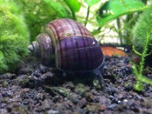 Purple Mystery Snails (Pomacea bridgesii)
