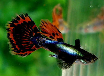 Red Mosaic Big Ear Guppy Pairs for Sale Expedited Shipping