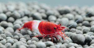 "Red Rili Shrimp (Neocaridina davidi) - 1/2"" to 3/4"""