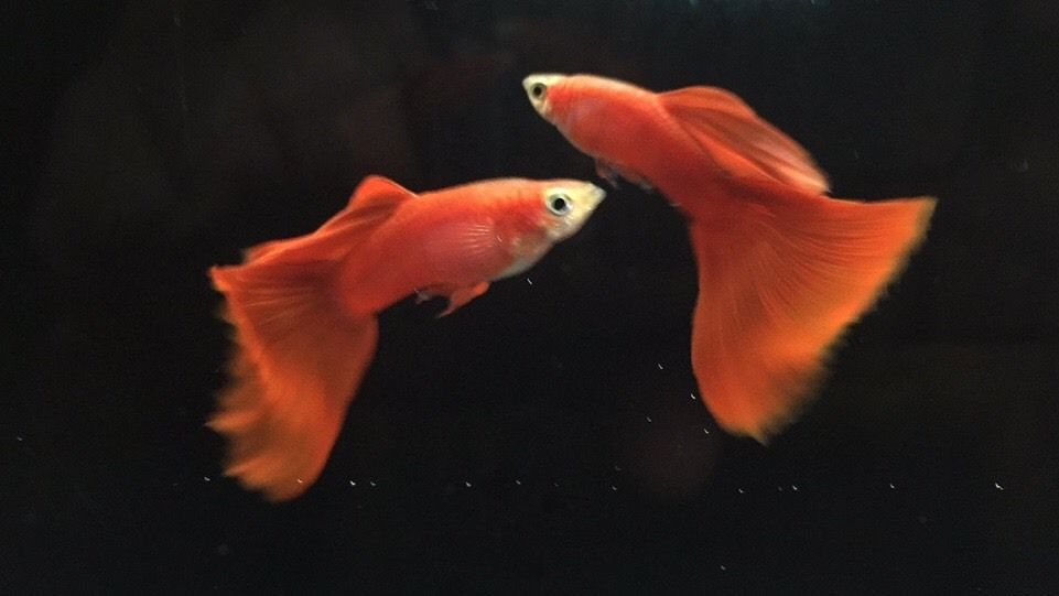Buy Red Show Guppies