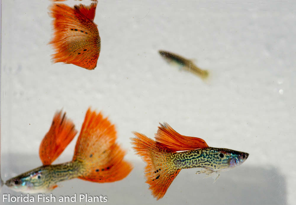 Vat Raised Red Snakeskin Guppies