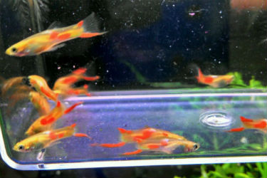 Red Spot Endlers for Sale
