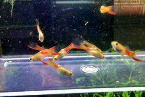 Red Spot Endlers Guppy Fish
