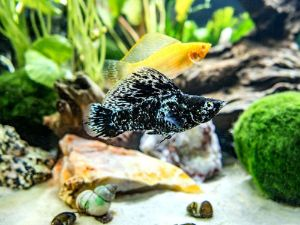 Sailfin Molly Assorted Colors