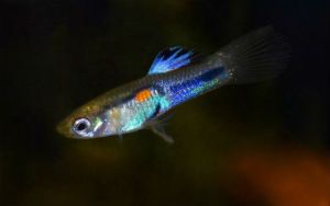 Striped Blue Fin (Poecilia reticulata x wingei)