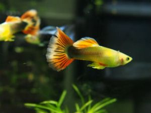 Breeding size adult Sunray Guppies photo by InvertObsession