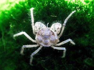 Thai Micro Crabs (Limnopilos naiyanetri)