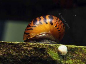 Tiger Nerite Snails (Neritina natalensis)