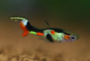 Endler Guppy Top Green Sword collected in (Cumaná, Sucre State, Venezuela)