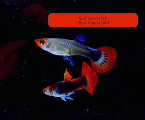 Tuxedo koi guppies Breeding pair
