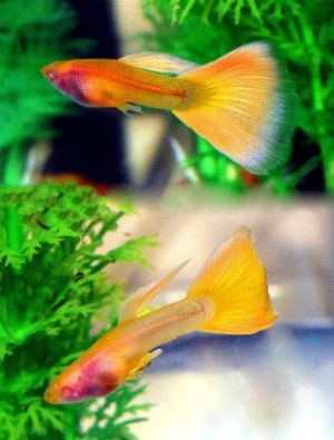 Yellow Taxi Glass Belly Guppy for sale
