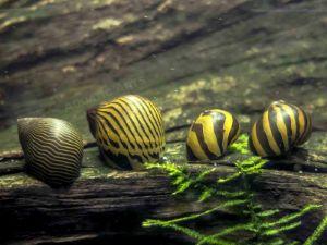 Zebra Nerite Snails (Neritina natalensis)