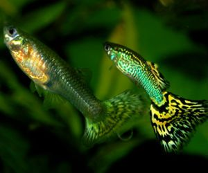 Offering live adult guppies for sale daily