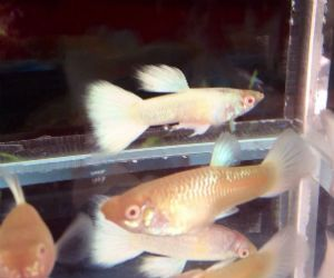 Offering live albino guppies for sale daily
